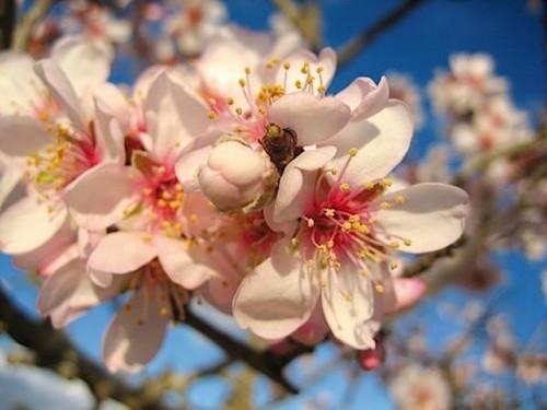 Mandelblüte Kirschblüte
